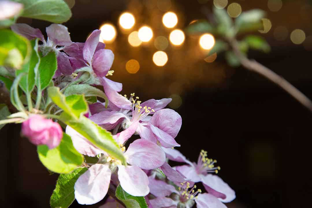 pink blossom and sparkling fairy lights