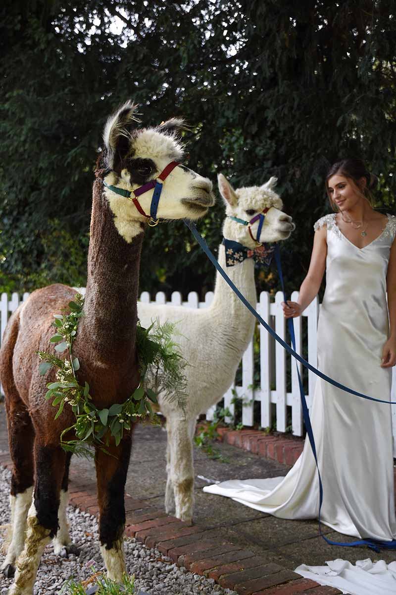 one brown and white alpaca and one white alpaca with a bride