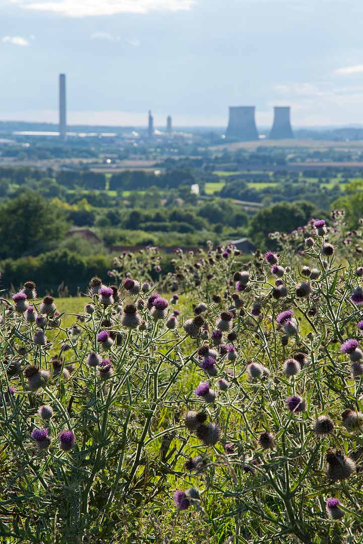Purple thistles with Didcot power station in the background